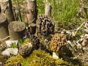 Graue und Runde Speisemorchel (Morchella esculenta var. vulgaris und rotunda) Wertvolle Speisepilze zur Zeit der Löwenzahnblüte.
