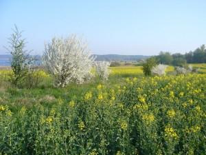 Heute ist Georgstag - Stichtag für den Georgs - Ritterling oder besser bekannt als Maipilz. Auch der Raps und die Sclehen blühen schon. Rapsblüte = Maipilzzeit. Er kann auch unter Schlehen gefunden werden.