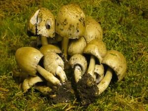 Grauer Falten - Tintling (Coprinus atramentarius). Der Pilz ist jung essbar, wobei Alkoholgenuss aber gemieden werden muss! Das Foto entstand auf der Moosfläche der Ausstellung am 05.05.2009.