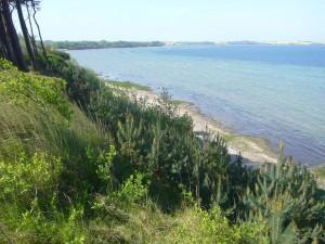 Eine Steilküsten - Kiefernschonung ist entstanden.