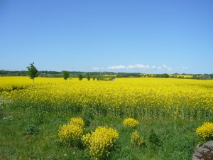 Noch sind die Rapsfelder leuchtend gelb, aber in wenigen Tagen wird die Tracht für dieses Jahr vorbei sein.