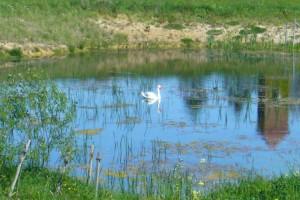 Schwanensee - ihm ist es sicherlich nicht zu trocken.