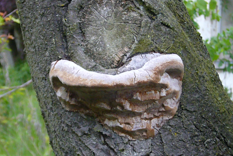 Pflaumen Feuerschwamm (Phellinus tuberculosus) Dieser häufige Feuerschwamm besiedelt, wie der Name schon sagt, hauptsächlich Pflaumenbäume, ist aber auch sehr häufig an Schlehen zu finden.