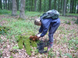 Das wird schmecken. Stockschwämmchen zählen zu den edelsten Pilzen, die wir in unseren Wäldern finden können. 13. Juni 2009 - Höltingsdorfer Forst.