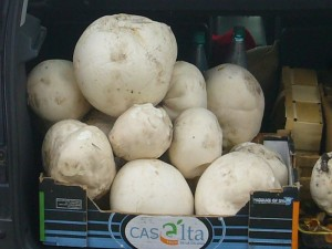 Riesenboviste türmen sich in Klaus Warnings Kofferraum. Leider waren sie nicht mehr zu essen, aber für unsere Pilzausstellung allemal noch gut genug. 27. Juni 2009.
