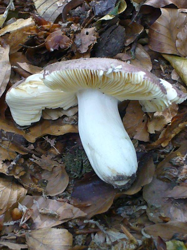 Weißstieliger Leder - Täubling (Russula romellii). Dieser große Täubling wächst von Mai - Oktober in guten Buchenwäldern. Wie bei allen Leder - Täublingen verfärben sich die Lamellen ockergelblich.