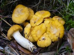 Pfifferling (Cantharellus cibarius). Ab dieser Größe (Hutdurchmesser ca. 2.0 cm) können sie gesammelt werden. Bei diesen Pilzen sieht man gut die farbunterschiede zwischen den trocknen, blassen Stellen des Hutes und den leuchtend gelben Bereichen, die durchfeuchtet sind. Standortaufnahme vom 14. Juli 2009.