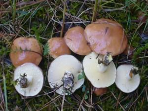 Körnchen - Röhrling (Suillus granulatus). An dieser Stelle waren sie schon optimal entwickelt. Auch die anderen werden jetzt rasant heran wachsen.Standortfoto am Abend des 17. Juli 2009.