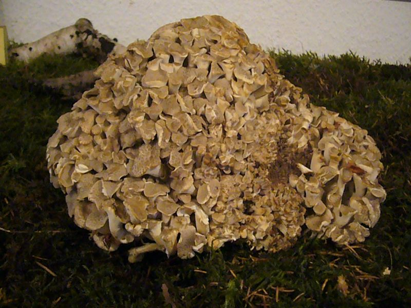 Eichhase (Polyporus umbellatus). Dieser vielhütige Porling wächst im Sommer zerstreut unter Eichen und Buchen. Von weitem ähnelt er einem sitzenden Hasen. Er ist ein guter Speisepilz, der aber auch schonung verdient. Das Foto entstand im Juni 2009 auf der Moosfläche unserer Pilzausstellung.