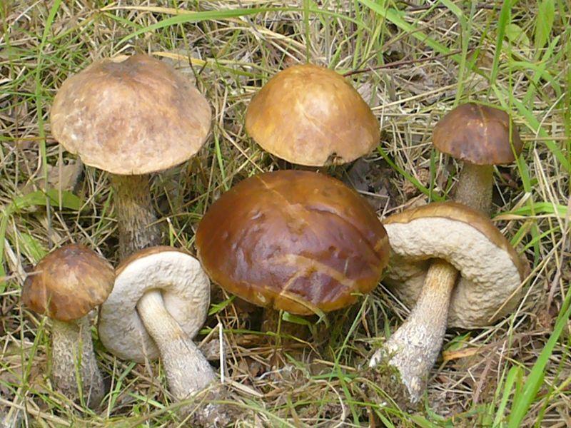 Birkenpilz (Leccinum scabrum)