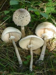 Riesenschirmpilz (Macrolepiota procera). Diese schönen Exemplare standen heute an der Landstraße zwischen Crivitz und Brüel. Sie werden unsere Pilzausstellung bereichern. Standorfoto am 07. August 2009.