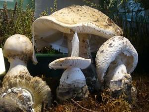 Diese Wulstlinge sind im wahrsten Sinne des Wortes fransig. Amanita strobiliformis in der heutigen Ausstellung. 24. August 2009.