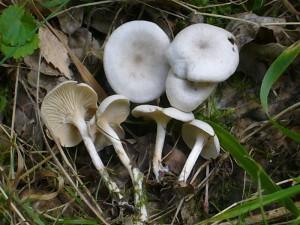 Der Ranzige Trichterling (Clitocybe phaeophthalma) gehört zu den wenigen, meist kleinen Arten, die in den letzten Tagen ganz vereinzelt entlang von feuchtigkeitsbegünstigten Waldwegen zu finden waren.