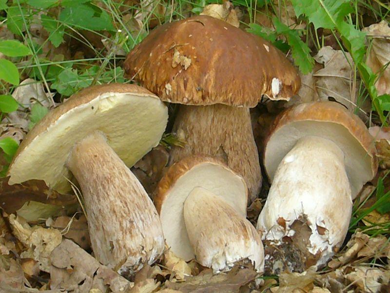 Sommersteinpilz (Boletus reticulatus). Der Sommersteinpilz zählt in Mecklenburg zu den häufigsten Dickröhrlingen.
