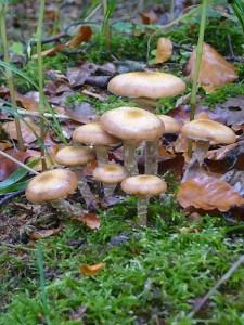 Hallimasch (Armillaria specc.) gehört im Herbst zu den häufigsten, ergiebigsten und schmackhaftesten Speisepilzen.