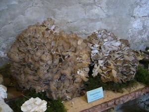 Bombastisch sind diese Klapperschwämme (Grifola frondosa). Da dieser Porling essbar ist, hätten gleich mehrere Familien eine Mahlzeit.