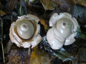 Die ersten Pilze der heutigen Wanderung waren diese beiden Halskrausen - Erdsterne (Geastrum triplex). Diese, den Bovisten und Stäublingen nahestehenden Bauchpilze sind zur Speise nicht geeignet, aber sehr interessant und dekorativ. Standortfoto am 13.10.2009 im Großherzoglichen Forst Moidentin.