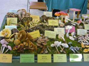 Mit 66 Pilzarten war unsere Ausstellungsfläche ausgelastet.