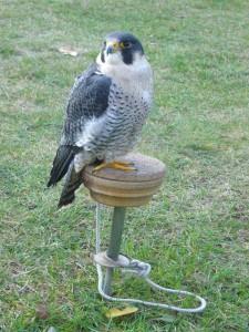 Und dieser Falke wartet darauf was noch kommt, aber gegen 16.00 Uhr endete diese schöner Veranstaltung, aber diese Objekt verdient zu allen Zeiten einen Besuch.