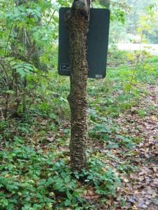 Dieser Schilderpfosten ist überzogen mir Fruchtkörpern des Striegeligen Schichtpilzes (Stereum hirsutum). Ein sehr häufiger Laubholzbewohner. 25.10.2009 Forst Gädebehn.