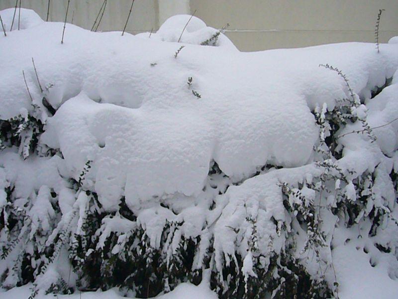 Dicke Schneeverpackungen auch auf Hecken und Gebüsch. 31.01.2010.