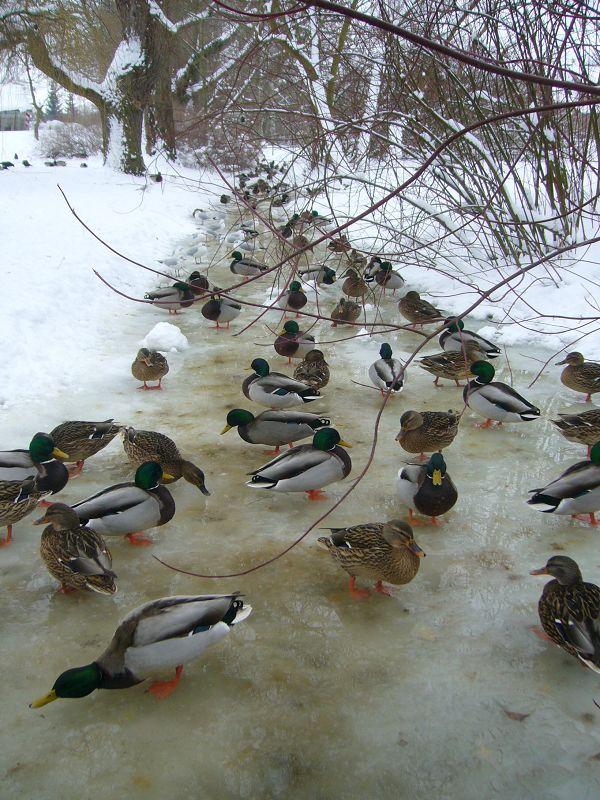 Viele Enten und Möven versammeln sich auf Gewässerstellen die noch halbwegs offene Stellen haben, so wie hier im wismarer Ziegeleipark.31.01.2010.
