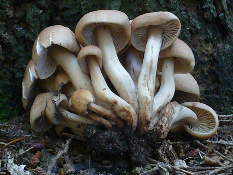"""Spindeliger Rübling (Collybia fusipes). Dieser ebenfalls recht große Rübling wächst im Sommer und Herbst büschelig im Wurzelbereich alter Eichen und Buchenstubben. Seine rotbräunliche Färbung, die zähe Konsistens und mit zunehmendem alter rostige Flecken sowie der spindelige Stiel sind gute Kennzeichen. Es handelt sich um einen minderwertige Pilz, der allerdings von einzelnen """"Kochtopfmykologen"""" als schmackhafter Pilz geschätzt wird. Standortfoto im Sommer 2009."""