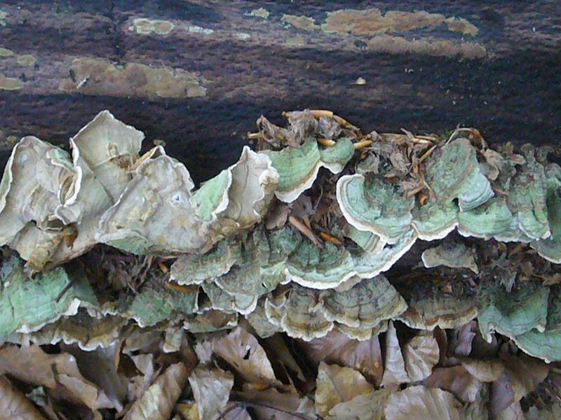 Samtiger Schichtpilz (Stereum subtomentosum). Lebt saprophytisch an totem Holz von Laubbäumen. Gern in feuchten Waldgesellschaften wie Erlenbrüchen. Seeuferbereichen, Bachtälern und bevorzugt Erlenholz. Seine Hutkannten stehen weit ab vom Substrat und sind schön gezont, ähnlich der Schmetterlingstramete. Ungenießbar.