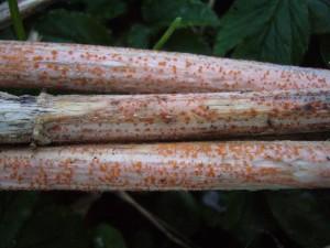 Verwandt mit Lorchel und Morchel sind diese winzigen Orangefarbigen Brennesselbecherchen (Calorina fusarioides) die in solchen Mengen mituner fast flächendeckend alte Brennesselstengel des Vorjahres überzien, dass der ganze Bestand schon von weiten orange erscheint.