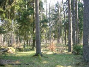 Typisches Lorchelbiotop im Naturpark Sternberger Seenland bei Kobrow. Kieferhochwald mit eingestreuten Fichten. Moosiger Untergrund mir reichlich verrottendem Totholz. Foto am 14. April 2001.