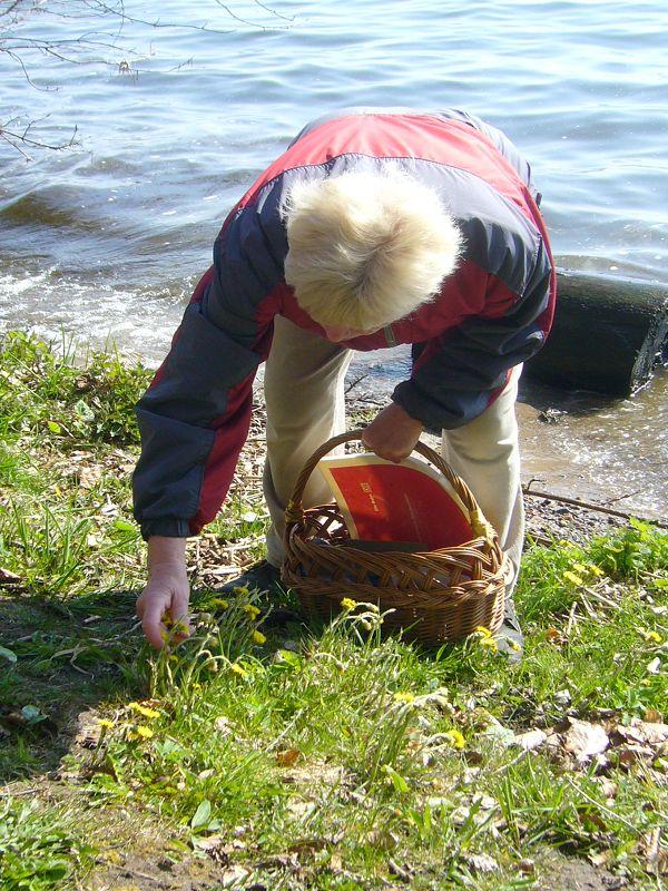 Nicht nur Pilze stehen auf dem Programm. Bärbel Wirth erntet hier Huflattich zum Trocknen. 25.04.2010.
