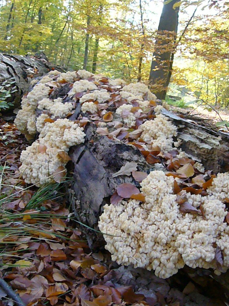 Ästiger Stachelbart (Hericium coralloides). Dieser auffällige und nicht zu übersehende Stachelbart wächst im Herbst in Mecklenburg zerstreut an alten Buchenstämmen mit schon erhöhtem Zersetungsgrad. Selten auch an anderen Laubhölzern. Von weitem wird er von Unkundigen oft für eine Krause Glucke gehalten. Diese wächst an Nadelholz und hat keine stacheligen Äste. Durch Aufräumen und und starker Durchforstung unserer Wälder ist diese imposante Art in ihrem Bestand gefährdet. Trotzdem können glückliche Pilzsucher sich bei einem solchen Überangebot beruhigt eine Mahlzeit mit nach hause nehmen. Er ist ein guter Speisepilz. Am seltener werden vieler Pilzarten haben die Pilzsammler den geringsten Anteil. Es gilt die Lebensräume gefärdeter Arten zu erhalten. Sammelverbote einzelner Arten sind unsinnig!.