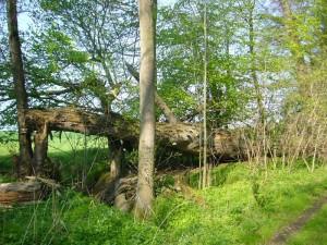 Wie es sich für einen Urwald gehört, dürfen die Bäume hier alt werden und umfallen wenn es ihnen paßt. Pilze sorgen dann mit anderen Organismen dafür, dass aus ihnen im laufe der Zeit wertvoller Humus wird.