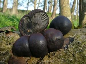 Holzkohlenpilz (Daldinia concentrica). Diese große Art des Holzkohlenpilzes, der zu den Schlauchpilzen gehört, ist in Mecklenburg äußerst selten. Ungenießbar. Standortfoto am 01. Mai 2010 im Klützer Urwald.