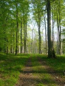 Das Gebiet besteht überwiegend aus feuchteren Erlen/Eschewäldern, hier aber ein Bereich mit großen alten Buchen.