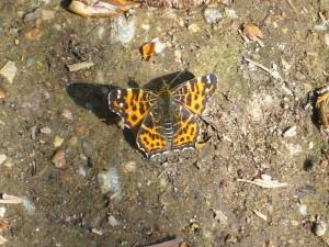 Schmetterlinge flogen hier heute mehrere Arten. Das könnte hier ein Diestelfalter sein, der ähnlich wie die Zugvögel im Frühling aus Süreuropa bei uns eintreffen
