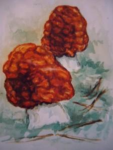 Frühjahrslorchel (Gyromitra esculenta)