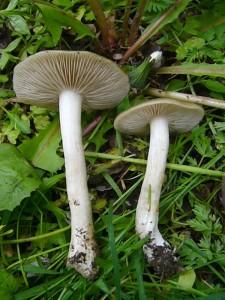 Der Schild - Rötling (Entoloma clypeatum) zählt aber wieder zur gehobeneren Geschmacksklasse. Man findet diesen guten Speisepilz im Frühling ausschließlich unter Rosengewächsen. 24. Mai 2010.