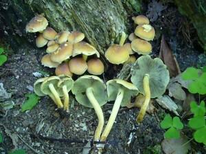 Der giftige Grünblättrige Schwefelkopf schmeckt bitter, was ein Vorzug für einen Giftpilz ist. Ihn kann man fast ganzjährig antreffen. Standortfoto am 29. Mai 2010 im Wald bei Börzow.