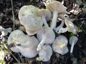 Der Blasse Pflaumen - Rötling (Entoloma sepium) ist etwas seltener als der sehr ähnliche, dunkler grau gefärbte Schild - Rötling.