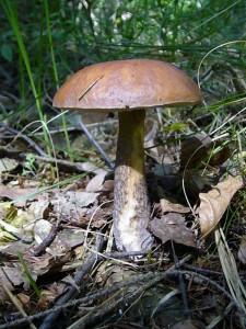 So etwas wollen viele finden, aber Röhrlinge gab es heute, bis auf zwei Birkenpilze (Leccinum sacabrum) keine. Standortfoto in den Questiner Tannen am 12. Juni 2010.
