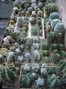 Viele hundert dieser genügsammen Wüstenplanzen gedeihen in seinen Gewächshäusern.