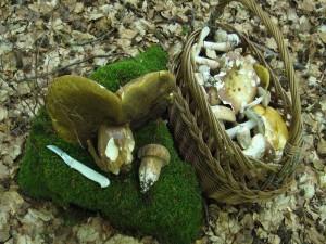 """Heute besuchte ich einen unsere """"Edel - Wälder"""" auf besseren Böden. Hier gab es Pilze! Und die waren größtenteils sogar recht frisch. Auch recht viele Sommersteinpilze, die meisten waren aber überständig. Im vergangenen Jahr gab es in diesen Buchenwäldern auf schwerem Untergrund kaum Pilze. 30. Juni 2010."""