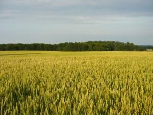 Das Getreide reift bei den Hohen Temperaturen und dem trocknen Wetter sehr schnell, so dass Stellenweise frühe Sorten schon gedroschen werden können. Getreidefeld bei Buchholt mit Blick auf den Holdorfer Wald. 04. Juli 2010.