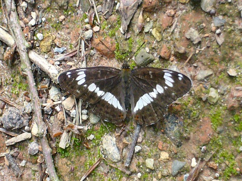 Dieser schöne Schmetterling ließ sich zu unseren Füßen auf dem Waldweg nieder.