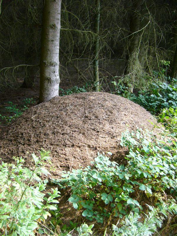 Unweit ein weiterer Hügelbau, ebenfalls von vielen fleißigen Helfern errichtet, aber hier waren gewiß0 keine Hühnen am Werk. 20. Juli 2010.