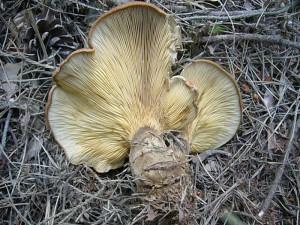 Aber es gab doch noch einige Frischpilze auf dem Pilzlehrpad zu bewundern. Neben wenigen Speise- Täublinge auch dieser ansehliche Samtfuß - Krempling (Paxillus atrotomentosus). Als Speisepilz ist es allerdings nicht zu empfehlen. Standortfoto am 24. Juli 2010.