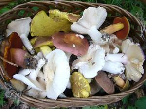 Füllten in der Vierburgwaldung Kiefernzapfen aus Mangel an Pilzen meinen Korb, waren es im Haushalt Forst die schönsten Pilze die man sich nur Wünschen kann. Genug Material für eine halbwegs ordentliche Pilzausstellung! 24. Juli 2010.