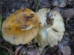 Vereinzelt traten Stink - Täublinge (Russula foetens) auf. Dieser große, geriefte, gelbbräunlich gefärbte und unangenehm riechende Täubling ist nicht empfehlenswert. Standortfoto am 24. Juli 2010 im Haushalt Forst.