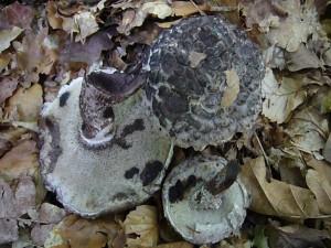 In manchen Jahren richtig häufig ist hier der Strubbelkopf (Strobilomyces floccopus). Dieser unverkennbare Röhrling sieht nicht gerade appetitlich aus. Tatsächlich ist er zu Speisezwecken auch nicht zu empfehlen.
